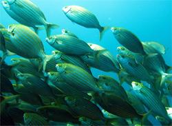 peces medes