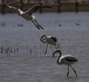 aves migratorias en aiguamolls del Emporda